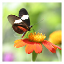 butterfly with orange flower photograph thumbnail.