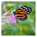 monarch butterfly photograph thumbnail.