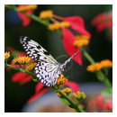 white butterfly photograph thumbnail.