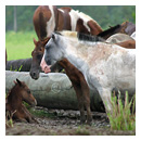 wild horses in costa rica photograph thumbnail.