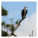 osprey on a branch photograph thumbnail.